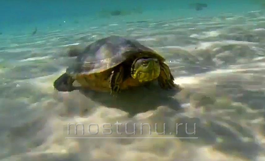 Черепаха пининга